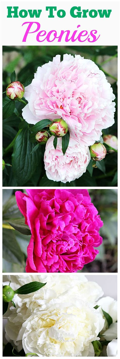 how to house a grown top 28 how to grow peonies in 25 best ideas about peony bush on peonies