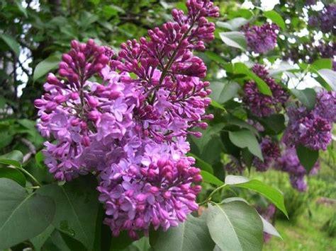 lilla fiore fiori di lilla fiori di piante lilla fiori