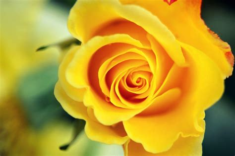 free wallpaper yellow roses wallpapers yellow rose wallpaper cave