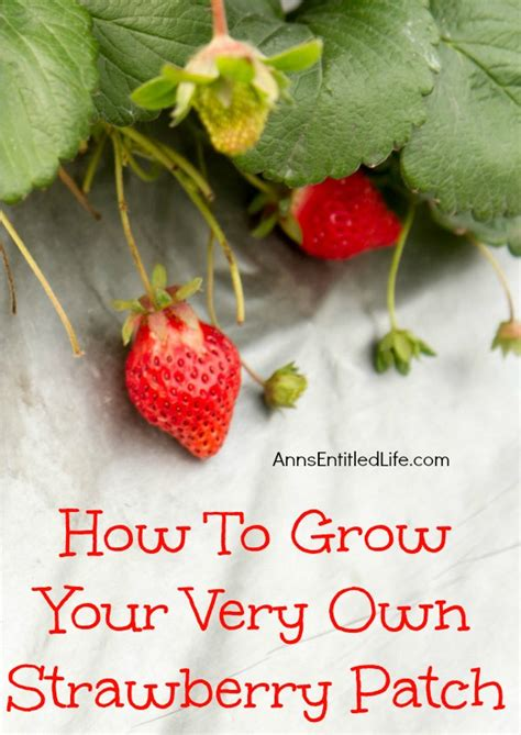 grow    strawberry patch