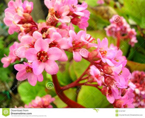 flower in bloom pink flowers in bloom royalty free stock photography