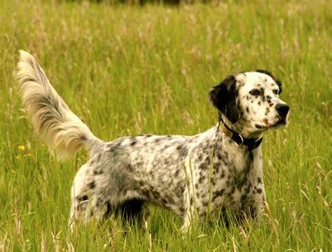imagenes de setter ingles setter ingles caracter y cuidados razas de perros