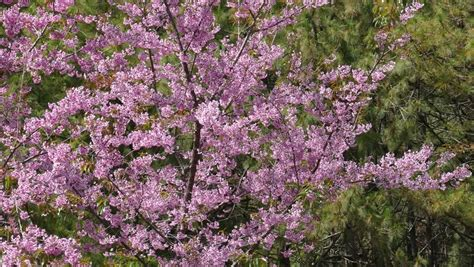 cherry tree range himalayan cherry tree or sour cherry prunus cerasoides its range extends in the