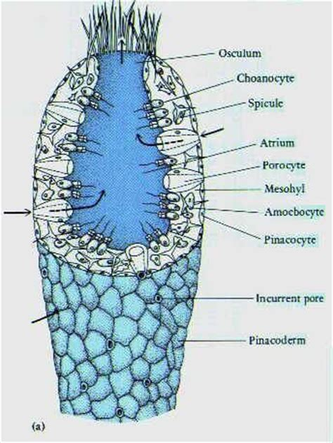 diagram of sponge porifera diagram phylum porifera