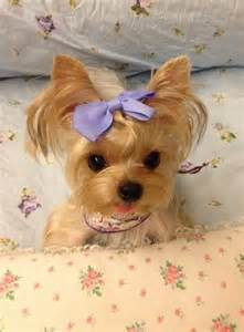 teacup yorkie haircuts pictures 25 best ideas about teacup dogs on pinterest cutest