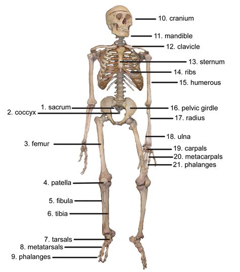 detailed skeletal system diagram skeletal system diagrams diagram site