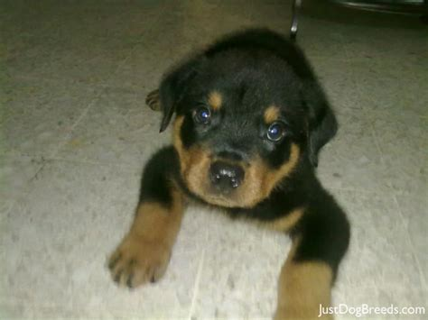 breed of rottweiler different breeds of rottweilers dogs trend home design and decor