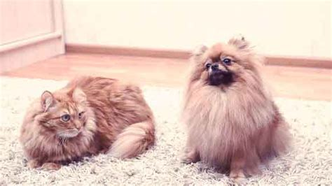 demodicosis in dogs how to identify demodicosis in dogs and cats petcarerx