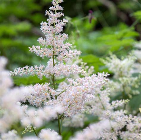 astilbe deutschland plant feather flower false spirea