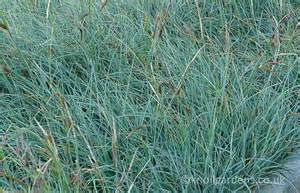 Pictures Of Blue Iris Flowers - carex flacca knoll gardens ornamental grasses and