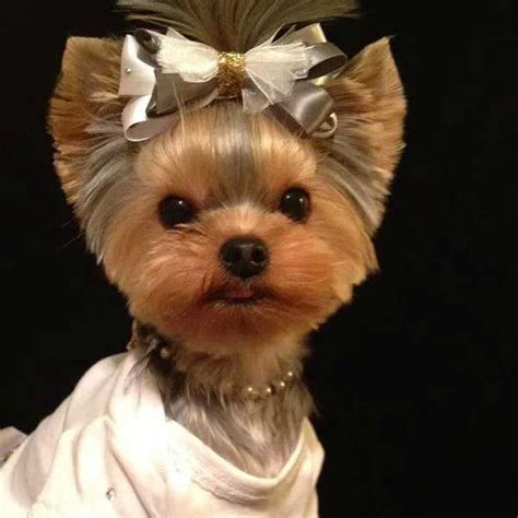 yorkshire short cuts yorkie haircuts 100 yorkshire terrier hairstyles