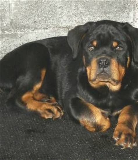 german rottweiler puppies for sale best 25 rottweiler puppies for sale ideas on rottweiler for sale german