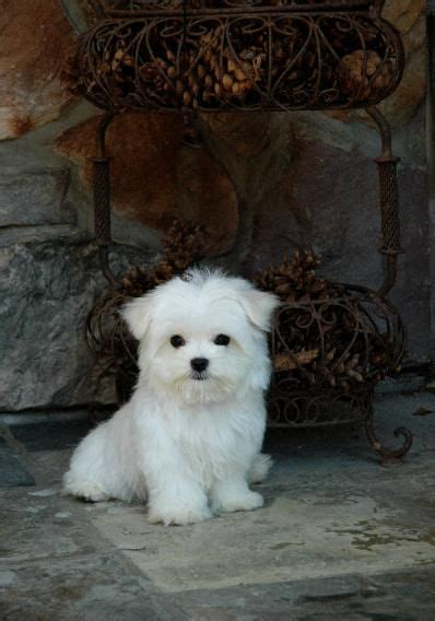 yorkie puppies for sale in chicago area 1000 ideas about maltipoo breeders on shih tzu breeders yorkie breeders