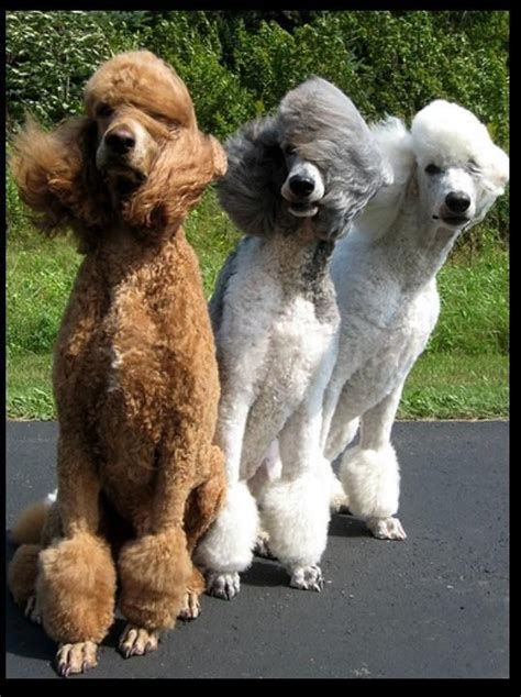 1000 images about doggy doos on pinterest poodles shih 1000 images about group poodles best dogs ever on