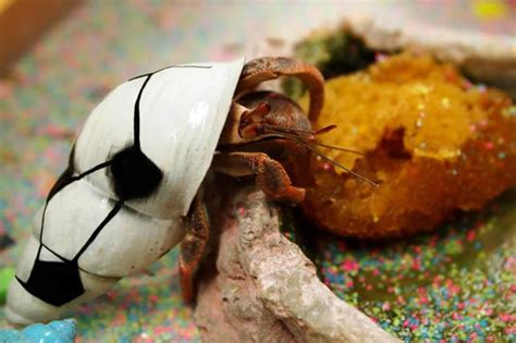 what do hermit crabs eat cuteness