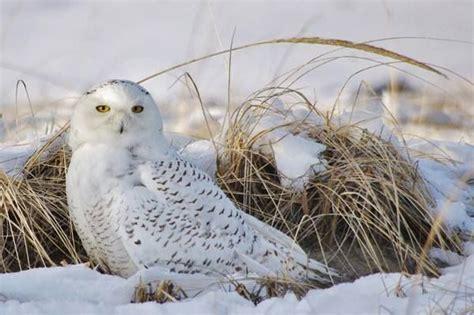 owls on cape cod judith davis quot snowy owl on cape cod quot beautiful