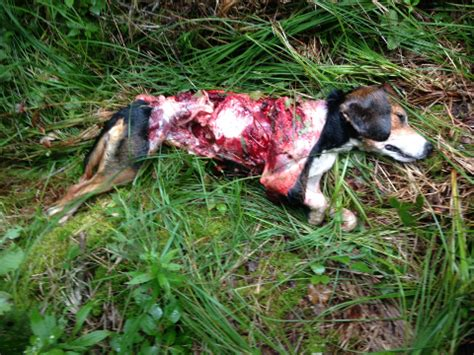 beagle puppies michigan wolves decimate beagle pack in michigan s peninsula history