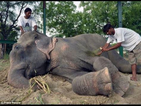 raju  elephant cries   rescued   years