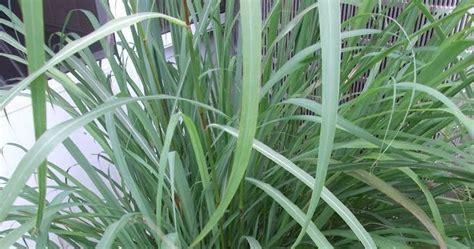 Ilmu Ternak Perah Daerah Tropis ilmu pelajaran grass rumput