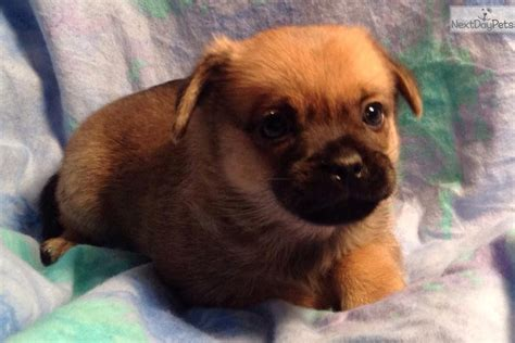 pugapoo puppies for sale pugapoo puppy for sale near salina kansas 7f7f396d 30d1