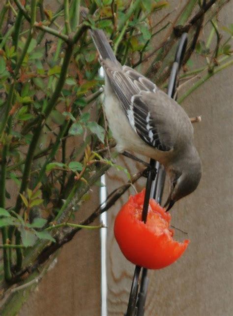 mockingbird eating a tomato photo lynnh photos at pbase com