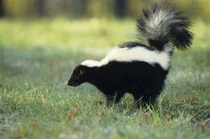 what do i do if my pet or i get sprayed by a skunk