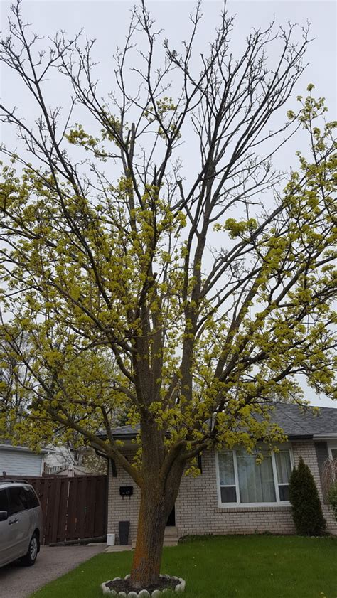 maple tree dying maple tree crown dying out and small fungus on a branch