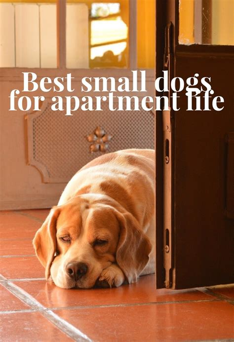 Easy Apartment Dogs Haired Breeds That Don T Shed Dogvills