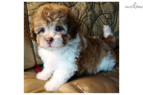 maltipoo puppies for sale near me malti poo maltipoo puppy for sale near texoma dd24cf48 2db1