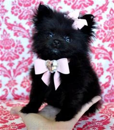 why is my pomeranian not fluffy 1000 images about dogs on teacup pomeranian teacup pomeranian puppy and