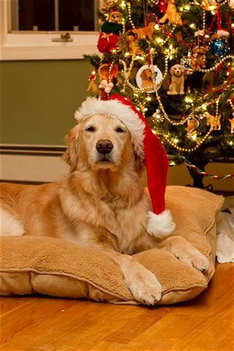 beautiful   dogs  christmastime life  dogs