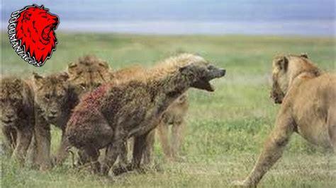 imagenes de leones vs hienas el le 243 n come hienas ataques reales jam 225 s filmados youtube