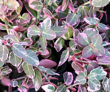 Winterharte Pflanzen Immergr N 1273 by Kriechspindel Bodendecker Immergr 252 N Work