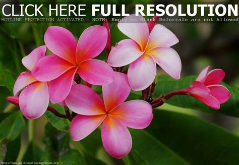 Tropical Flowers tropical flowers wallpaper backgrounds