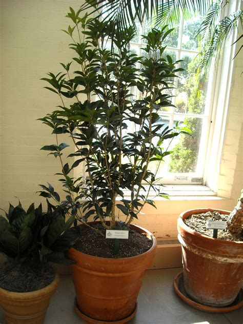 Fragrant Indoor House Plants - interior evergreen in olive tree varieties indoor olive tree makes your home more attractive