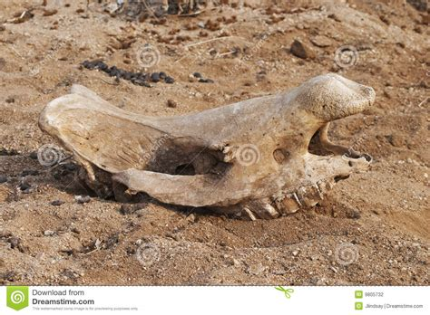 animal in bed animal skull in river bed stock photography image 9805732
