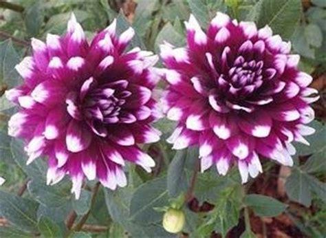 dahlia fiore fiori dalia fiori di piante