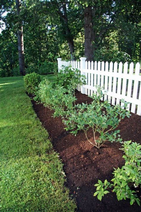 Backyard Berry Plants by Blueberry Bushes On Growing Blackberries