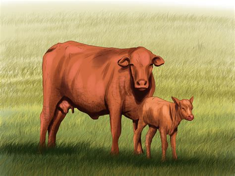 how to a cattle to work cattle how to identify brangus cattle 9 steps with pictures wikihow