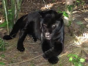 Jaguars Span Jaguar Animal Wildlife