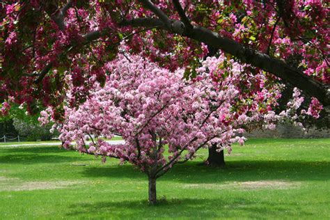 examining potential issues with crabapple trees tree