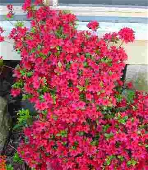 azalea bush colors 58 best azaleas images on