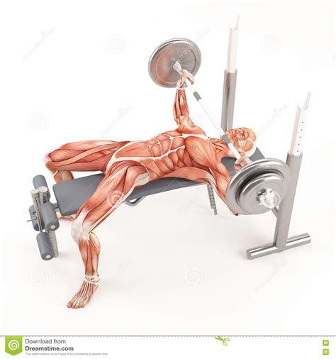 bench press muscles used bodybuilding gym exercising wide grip barbell bench press