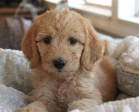 breeders in mini labradoodle puppies breeds picture
