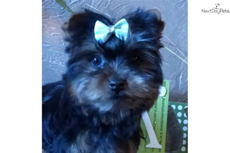 yorkie for sale kansas city abby terrier yorkie puppy for sale near kansas city missouri 211b0a4c b2f1