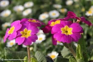 flower image primula picture flower pictures 5537
