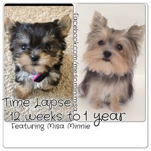 when do puppies change color time lapse puppy 12 weeks to 1 year yorkie misa