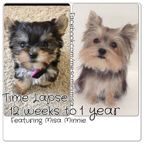 12 week yorkie time lapse puppy 12 weeks to 1 year yorkie misa minnie