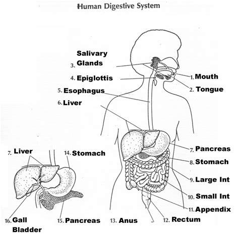 diagram of the digestive system digestive system diagram worksheet unlabeled diagram
