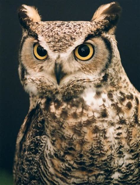 portrait   great horned owl pentax user photo gallery